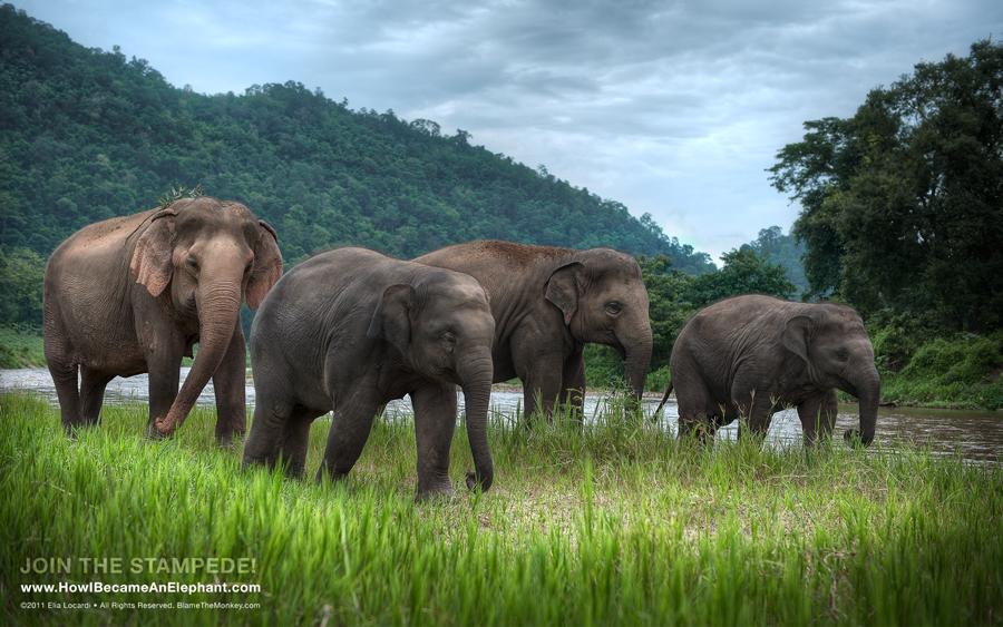 """An Afternoon Stroll"" - Free Elephant Desktop Wallpaper Background"
