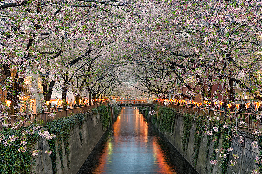 A beautiful evening in Tokyo as hundreds of beautiful cherry blossom trees bloom along the Meguro River.